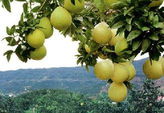 蜜柚常见病虫害的综合防治技术