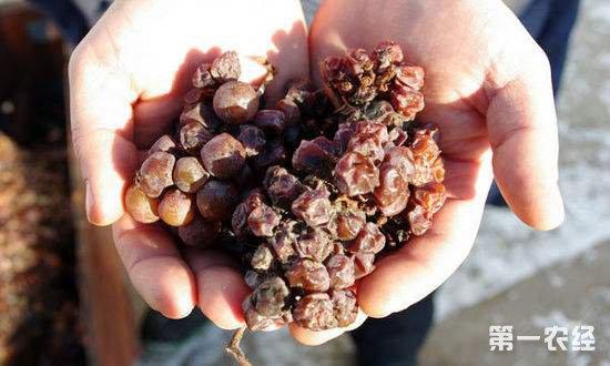 贵腐葡萄酒制作方法