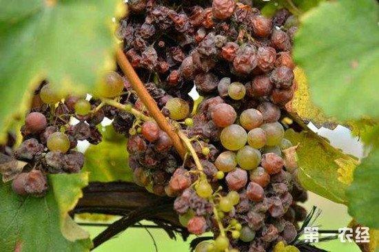 贵腐葡萄酒为什么这么贵?看看它的制作方法你就知道了