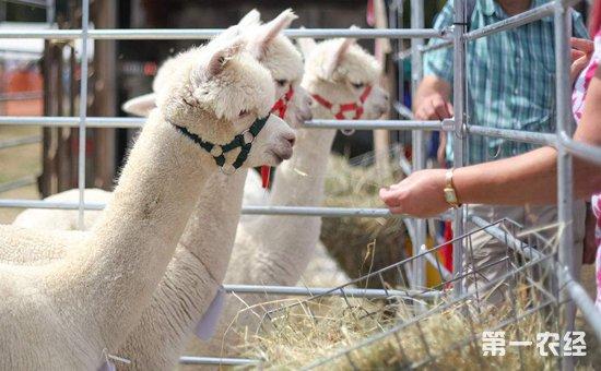 羊驼自助喂食