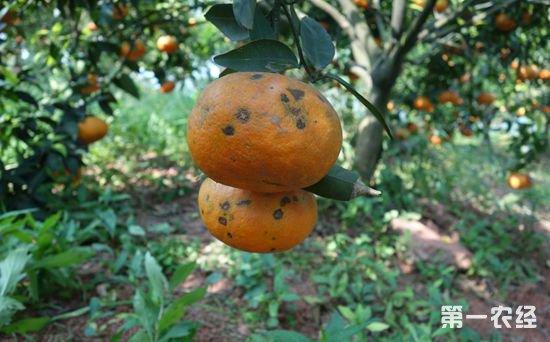 南非和阿根廷柑橘产区黑斑病严重 为避风险暂停向欧盟出口部分柑橘
