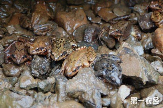林蛙要怎么养?林蛙的养殖技术