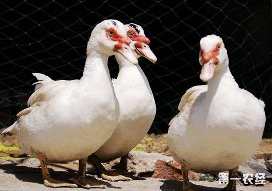番鸭要怎么养?番鸭的养殖技术
