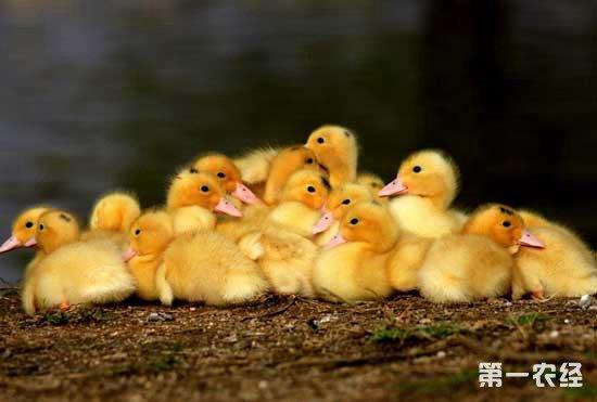 雏鸭应该怎么养?饲养雏鸭的注意事项