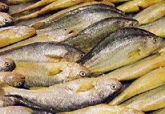 黄花鱼要怎么养殖?黄花鱼的养殖技术