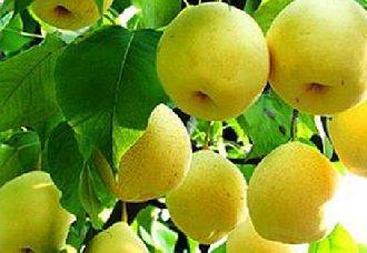梨树要怎么进行人工授粉和疏花疏果?