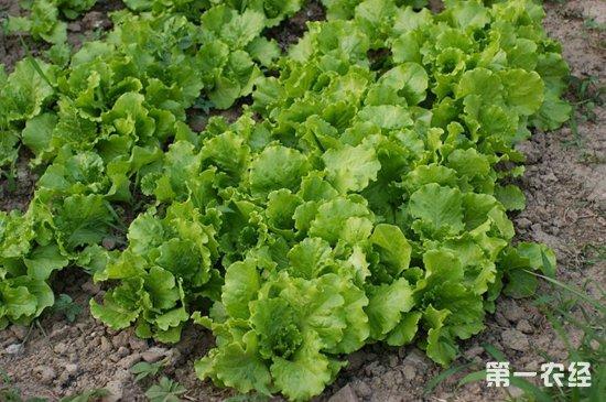 怎么提高生菜的产量?生菜高产种植技术
