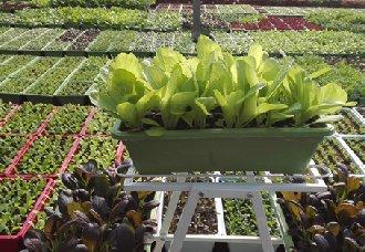 盆栽蔬菜要怎么选择基质和施肥?
