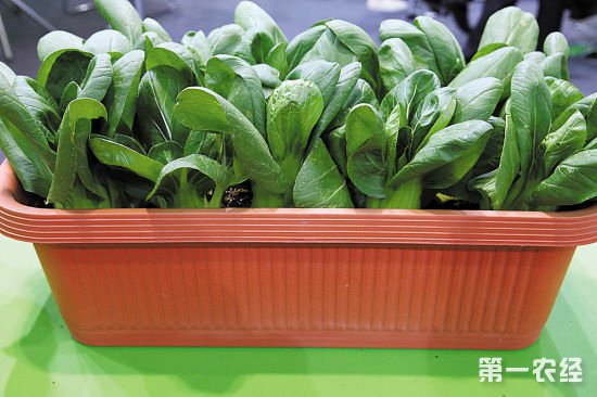 盆栽蔬菜要怎么选择基质和施肥
