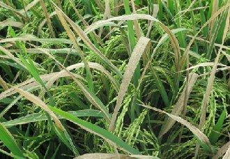 怎么分辨水稻白叶枯病与螟害枯心?白叶枯病要怎么防治?