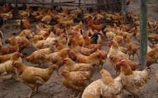 2018年9月12日养鸡市场行情如何?今日养鸡行情概述