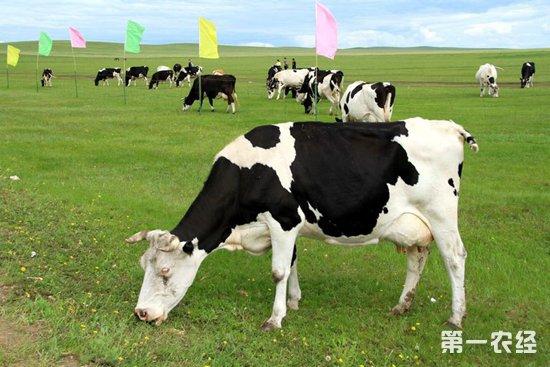 奶牛要怎么购买?选购奶牛的注意事项