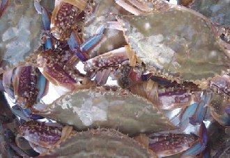 梭子蟹要怎么混养?虾蟹混养技术