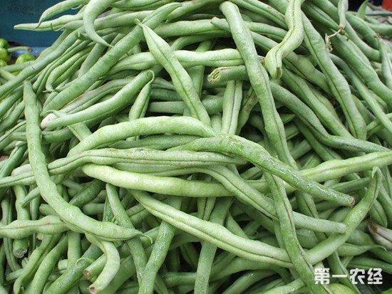 四季豆要怎么管理?四季豆的种植管理技术