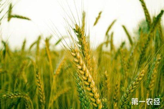 """小麦穗发芽防控新技术:""""纳米雨衣""""替代传统农药"""
