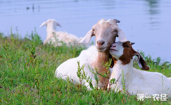 秋季波尔山羊怎么养?秋季波尔山羊饲养方法