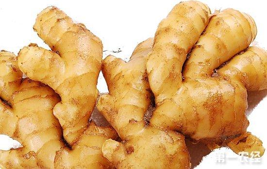 怎么提高生姜产量?生姜高产的种植管理技术