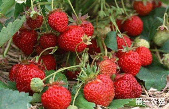 种植草莓的过程中要怎么控制湿度?