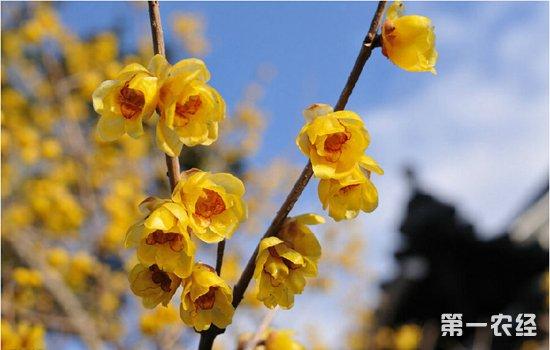 盆栽腊梅开花少怎么办?腊梅不开花的解决办法