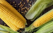 河北农村依托北京市场 通过种植鲜食玉米实现脱贫