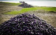 <b>孟加拉国:转基因茄子种植扩大成本减少,但收益增加</b>