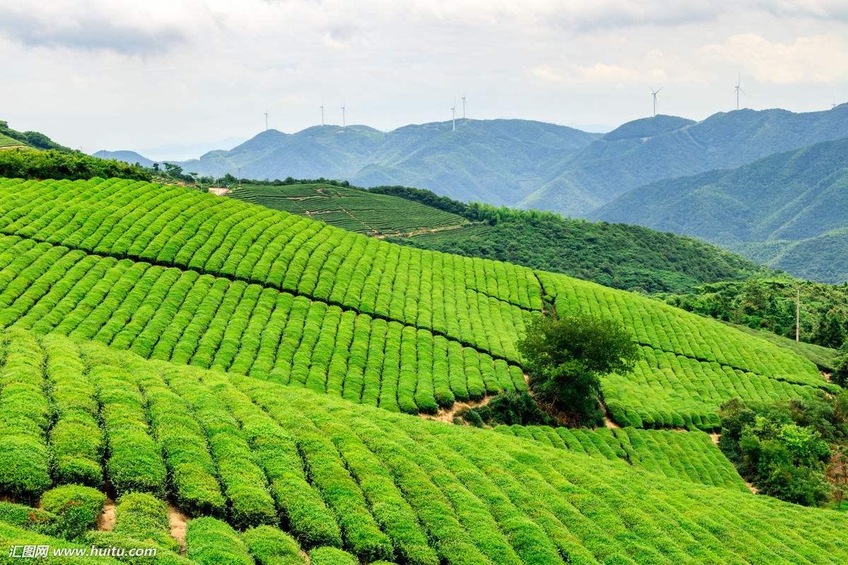 茶产业变革新趋势 科技创新助推中国茶