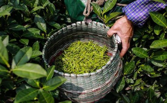 中国茶文化:西湖龙井的历史故事
