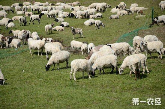 羊传染性脓疱要怎么诊断和治疗?