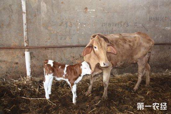 西门塔尔犊牛要怎么养?西门塔尔犊牛的养殖技术
