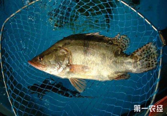 桂鱼要怎么养殖?桂鱼的养殖技术