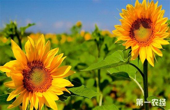 要怎么提高向日葵的结实率?