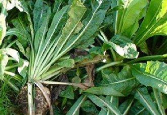 菊苣要怎么种植?菊苣的种植技术