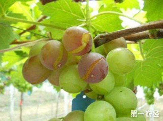 葡萄为什么会裂果?葡萄裂果的原因