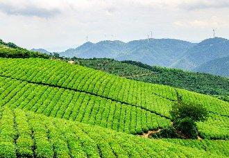 湖南江华:招礼村茶绿 人民脱贫富