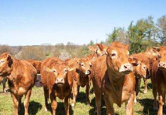 秸秆养牛有什么好处?该要怎么喂养和处理?