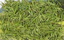 <b>贵州三都:懂术村毛尖茶生产顺利,脱贫致富指日可待!</b>