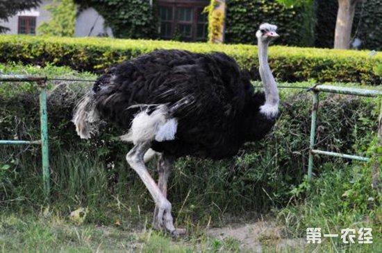鸵鸟常见的疾病以及防治方法
