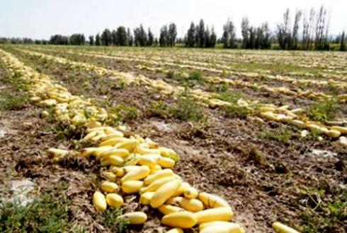 """新疆:籽用葫芦变成""""金葫芦"""" 让村民增收致富"""