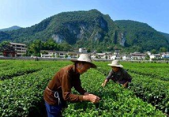 腾冲:茶产业实施乡村振兴战略 带动农民增收