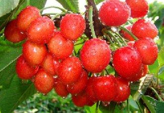 甜樱桃丛枝病要怎么治?甜樱桃丛枝病的防治措施