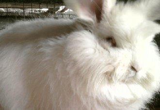 长毛兔化胎的原因以及防治措施
