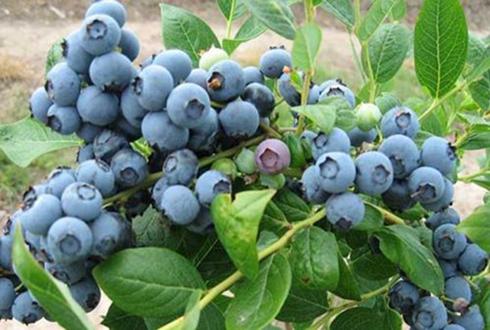 安徽雷埠乡:蓝莓种植让贫困户增收致富实现脱贫