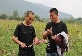 """哈尔滨尚志市:""""药材花海""""成农民增收新途径"""