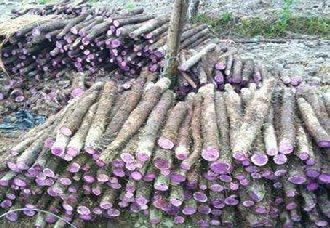 贵州水城县:发展紫人参产业 促进农民增收