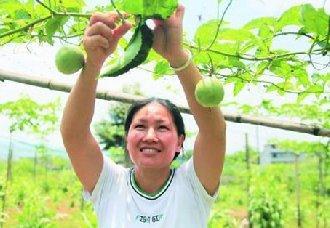 广西文家村:李翠萍用百香果实现致富 还带动乡亲齐富裕