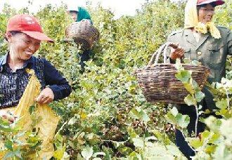 黑龙江:发展林下经济榛子种植让郑民成为一个新型农民
