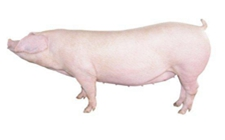 <b>养猪场选址需要注意什么?四个原则分享</b>
