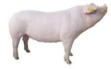 养猪场通风有多重要?这些有毒气体沉淀的危害你知道吗?