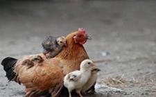 <b>思考:如何顺应蛋鸡生理特点,助它渡过逆境?</b>
