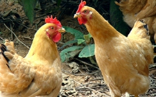 最基础的蛋鸡养殖九个要点,你做到了吗?